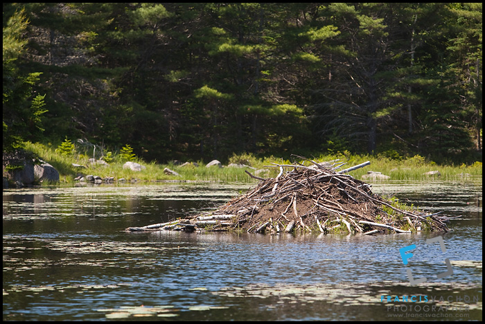 Beaver house in Acadia National Park