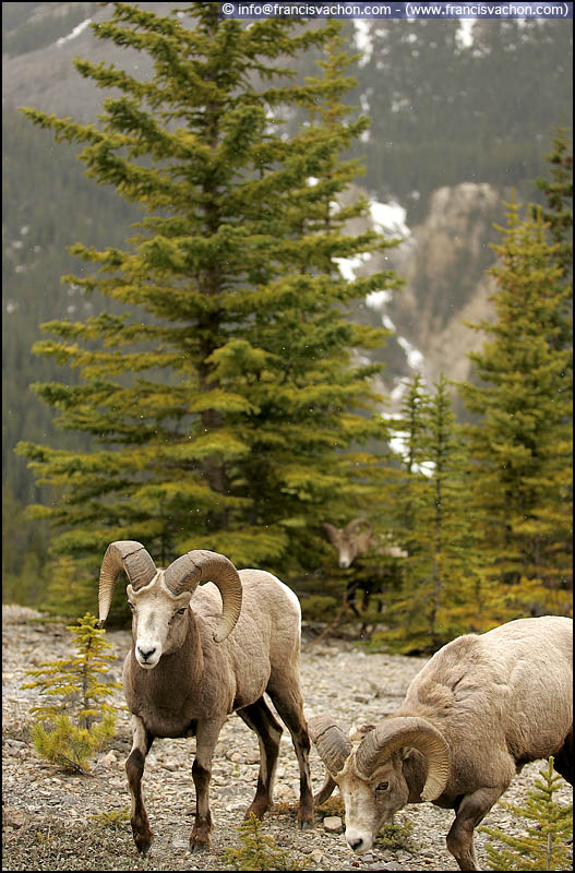 Bighorn sheep (mouflons d'Amérique)